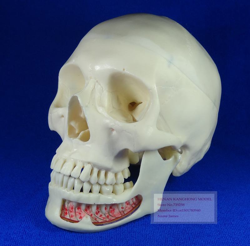 Advanced Simulation Model Skull,ISO Certification Human Skull Model,3 Parts Decomposition Model Skull iso advanced infant skull model anatomical skull model