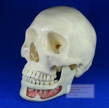 Advanced Simulation Model Skull,ISO Certification Human Skull Model,3 Parts Decomposition Model Skull