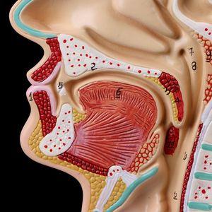Image 4 - Anatomie de la gorge de la cavité nasale anatomique humaine modèle médical outil denseignement papeterie de Science médicale pour lécole