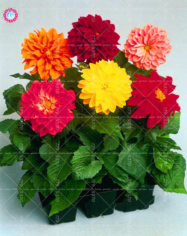 Detail Feedback Questions About 50pcs Mix Color Dahlia Chinese Rare