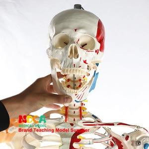 Image 2 - 170 CENTIMETRI Scheletrico Umano Modello Neuromuscolare di Avviamento e Arresto Colorato Legamento Scheletro di Yoga di Insegnamento Medico MGG301