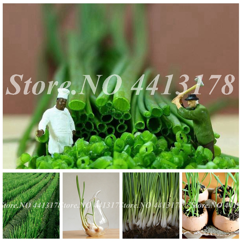 500 Pcs Giant Onion Bonsai, Onion Shallot, Organic Heirloom Fruit Vegetable Non-Gmo Plant, Outdoor Potted Plants For Home Garden