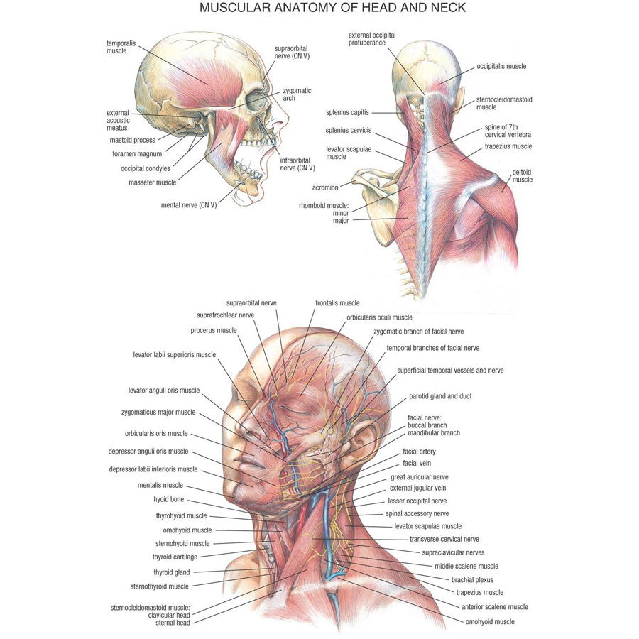 J0870 Human Body Structure Anatomy Chart Pop 14x21 24x36 Inches Silk ...