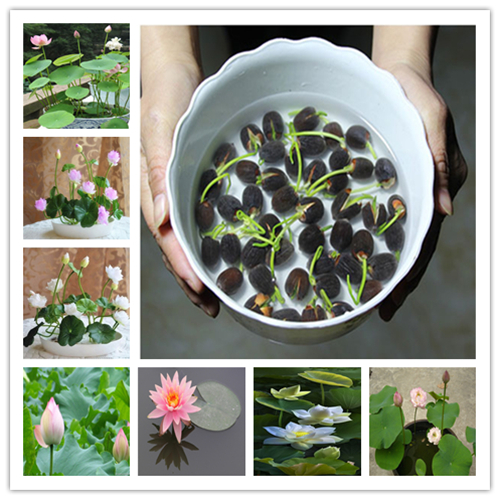 Hot Sale 5 Pcs/Pack Bowl lotus Bonsai Hydroponic Plants Aquatic Plants FlowerPot Lotus Water Lily plant Bonsai Garden(China)