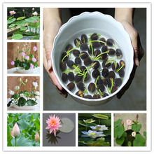 Hot Sale 10 Pcs/Pack Bowl lotus Bonsai Hydroponic Plants Aquatic Plants FlowerPot Lotus Water Lily plant Bonsai Garden(China)