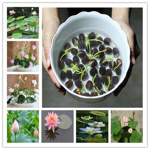 Hot Sale 5 Pcs/Pack Bowl lotus Bonsai Hydroponic Plants Aquatic Plants FlowerPot Lotus Water Lily plant Bonsai Garden