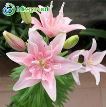 Promotion! 50pcs perfume Lily Seeds flower Germination 95% creepers bonsai DIY garden supplies pots planters