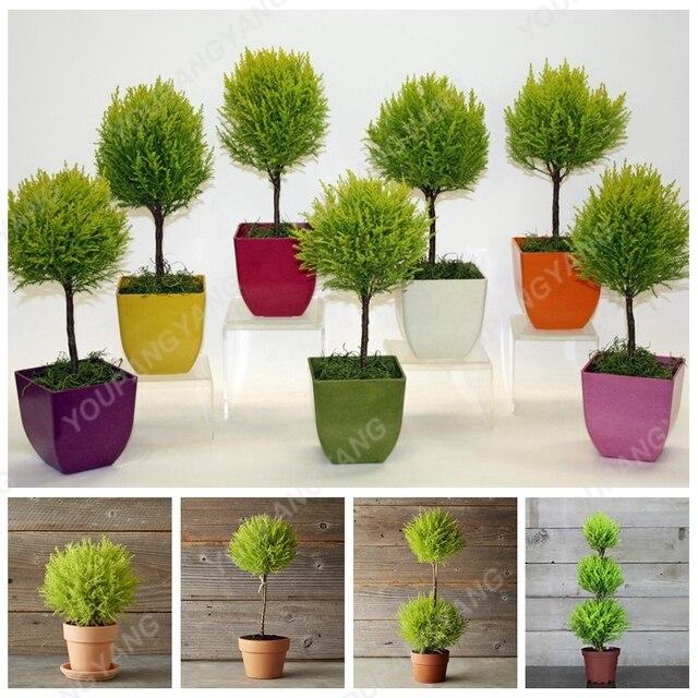 100 pz Piccolo Rotondo Cipresso Albero bonsai Molto Facile Crescere Bella Cipres