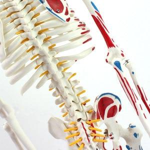 Image 5 - Autentyczny Deluxe 85CM Model ludzkiego manekina z rdzeniem kręgowym Model medycznego szkieletu nauczania medycznego