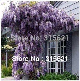 Hot Selling Purple Wisteria Flower Seeds For DIY home garden 50pcs
