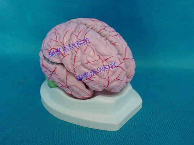 1: 1 Gehirn tissue modell mit blutgefäß Anatomie des gehirns in 1: 1 ...