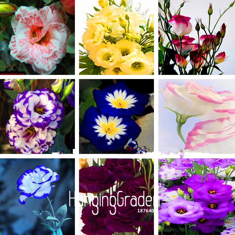 эустома садовая многолетняя бесплатная доставка