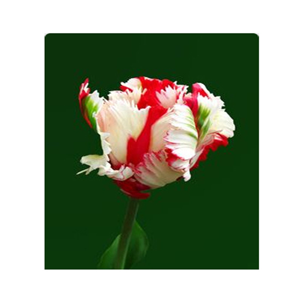Unique new red + white + blue Parrot Tulip Flowers Mixed Potted ...