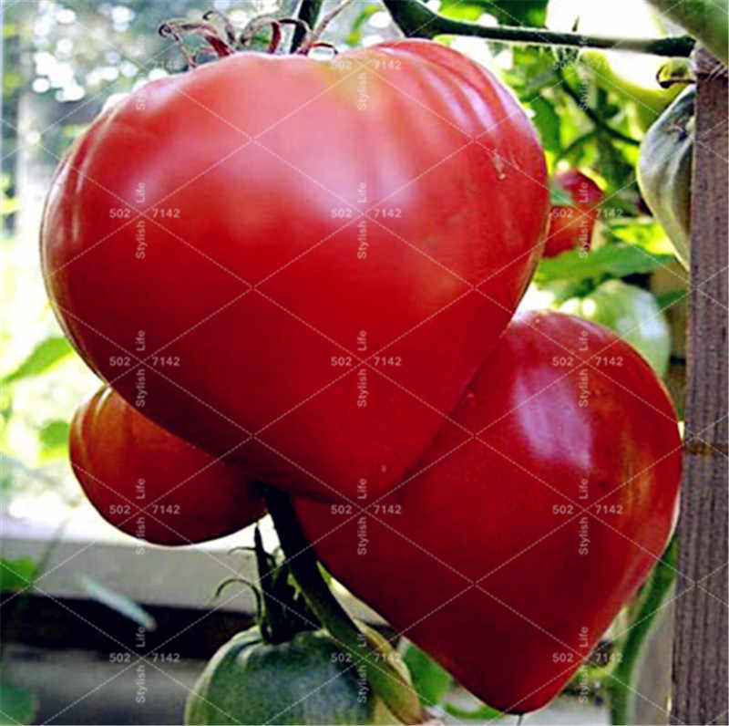 Sales! 100 Pcs Giant Tomato plant Tasty Red Black Tomato plant Organic Food plant Vegetables Easy Growing Bonsai Pot Plant