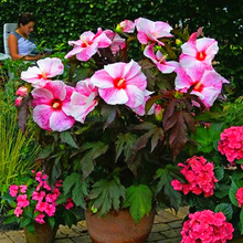 100 pcs/bag hibiscus flower seeds, giant bonsai hibiscus seed balcony potted flower seeds dwarf plant easy grow for home garden