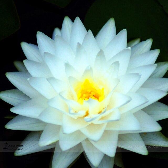 Bellfarm bonsai 1pcs pack big white lotus flower nelumbo pond bellfarm bonsai 1pcs pack big white lotus flower nelumbo pond plants mightylinksfo