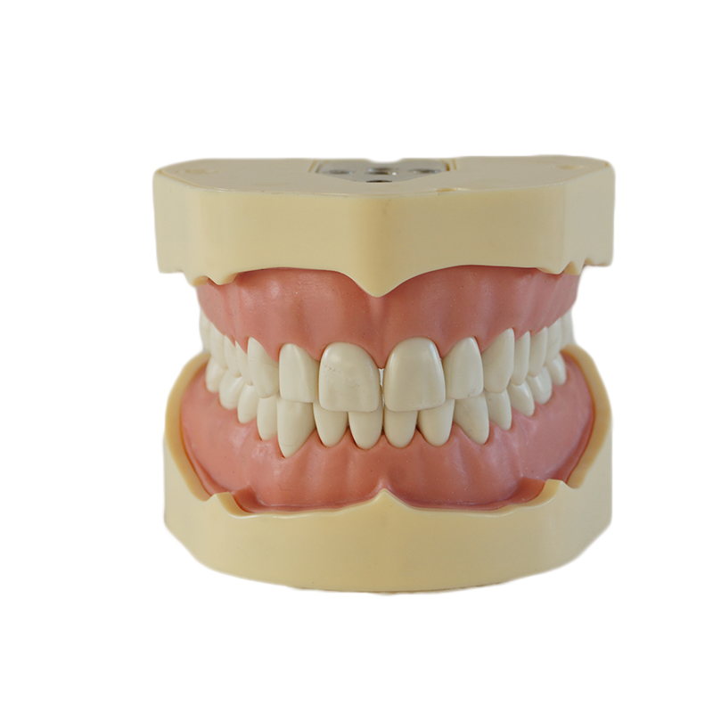 1PC High Quality teeth model dental tooth model Medical teaching tool art tools Brush teeth education tool BF Type Study Model 1 pcs dental standard teeth model teach study