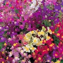 50+seeds/pack DARK LEAVED SNAPDRAGON ANTIRRHINUM FOWER SEEDS MIX /LONG LASTING ANNUAL