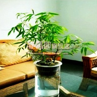 Ornamental Bamboo Hydroponic Water To Keep Indoor Bonsai Plant
