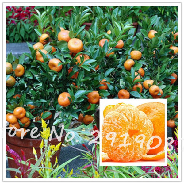Surprising Online Buy Wholesale Gold Mandarin From China Gold Mandarin  With Hot  Pcs Chinese Gold Bonsai Fruit Seeds Orange Seeds Coldhardy  Sweet  Mandarin Orange With Awesome Itv Love Your Garden Also Ravenscourt Park Garden Centre In Addition Welwyn Garden City Centre And Westland Garden As Well As Black Pebbles Garden Additionally Memorial Garden Gifts From Aliexpresscom With   Hot Online Buy Wholesale Gold Mandarin From China Gold Mandarin  With Awesome  Pcs Chinese Gold Bonsai Fruit Seeds Orange Seeds Coldhardy  Sweet  Mandarin Orange And Surprising Itv Love Your Garden Also Ravenscourt Park Garden Centre In Addition Welwyn Garden City Centre From Aliexpresscom