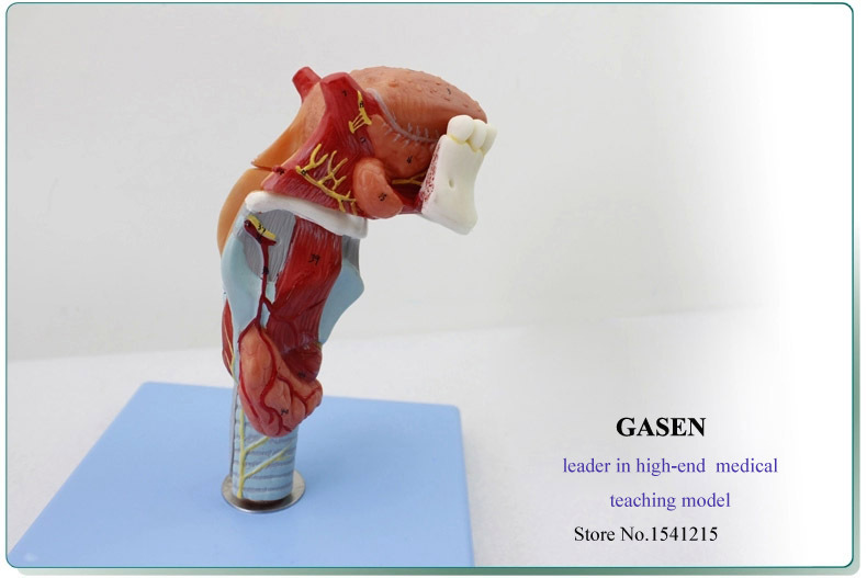 Medical Human Teeth Throat Tongue Model Laryngeal Anatomy Tongue