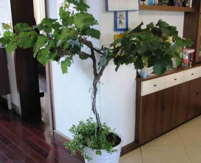 Aliexpress.com : Buy Heirloom Fruit Xinjiang Sweet Black Grape ...