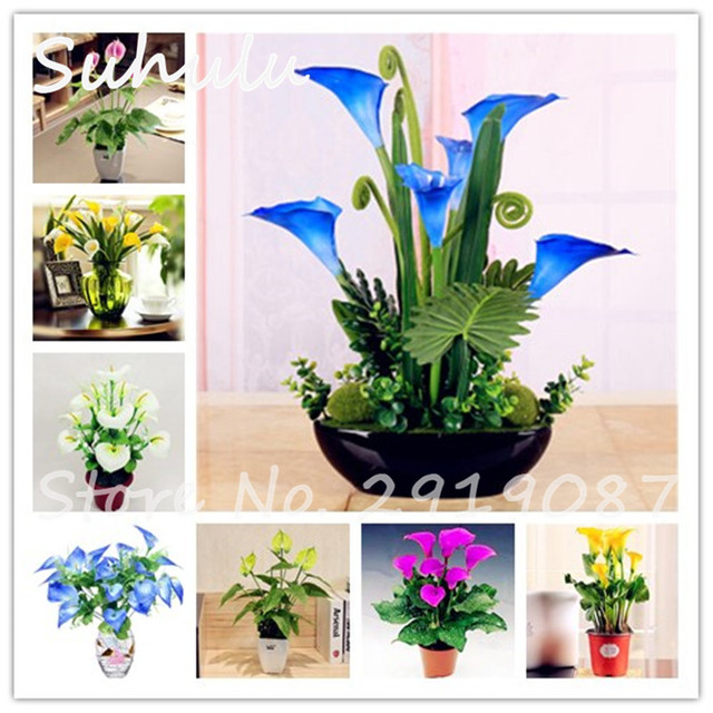 10 Pcs Rare Heirloom Bonsai Different Types Of Colorful Calla Lily Beautiful Flowers Common Callalily Indoor