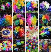 100 Seeds  Cute Rainbow Chrysanthemum Livingstone China Aster bonsai Seeds ornamental garden plant flowers