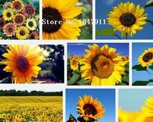 Big sale Sunflower seeds, Sun flower, plants DIY novelty tin cans flower seeds 50pcs