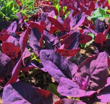 400 Healthful Purple Passion Spinach Seeds