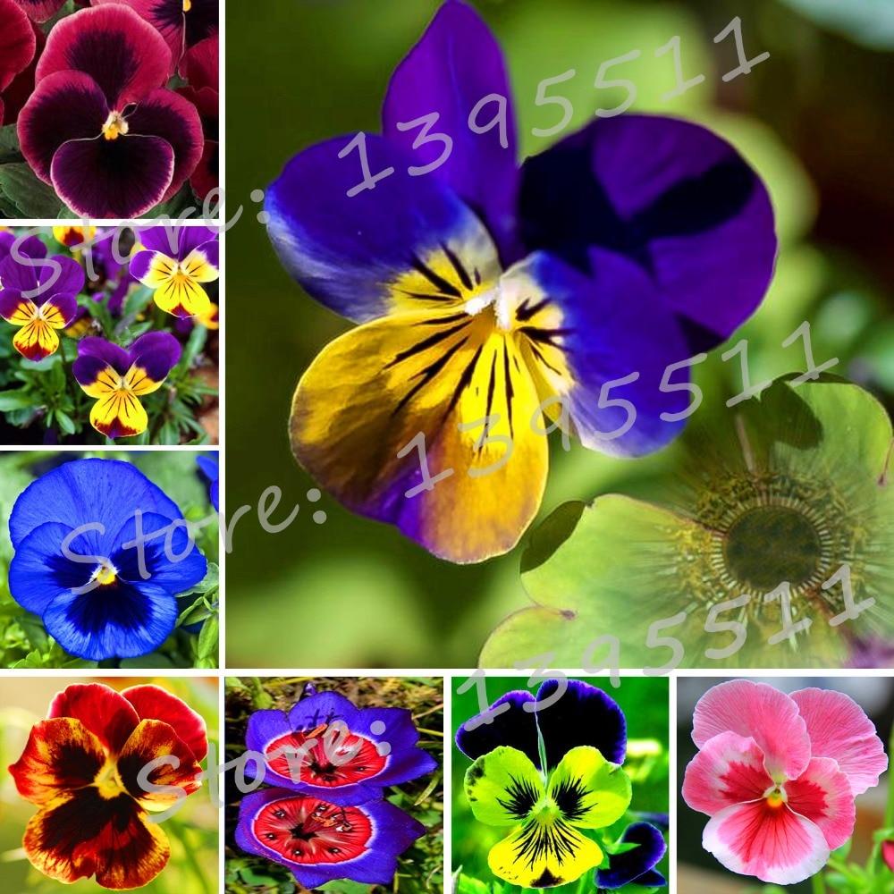 24 colors 50pcs/pack Mexican pansy flower Wavy Viola Tricolor Flower ...