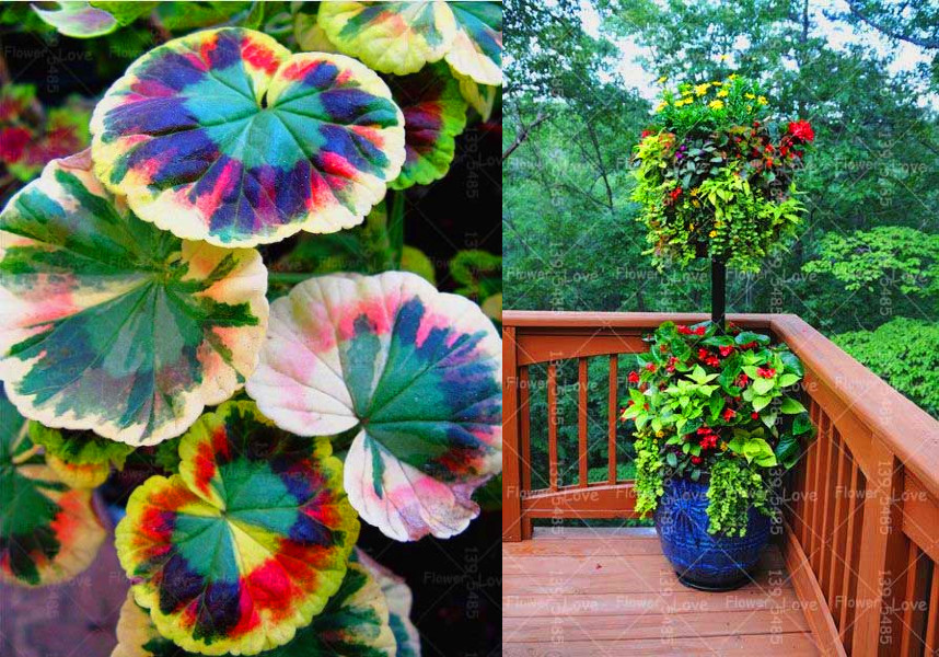 10/ bag,mixed color Geranium seeds, potted balcony, budding rate 95%, radiation absorption, - JiuLing Zhang Store store