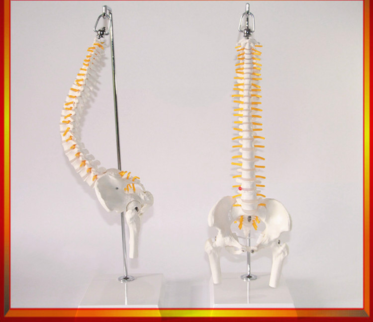 Buy model spine Online with Free Delivery