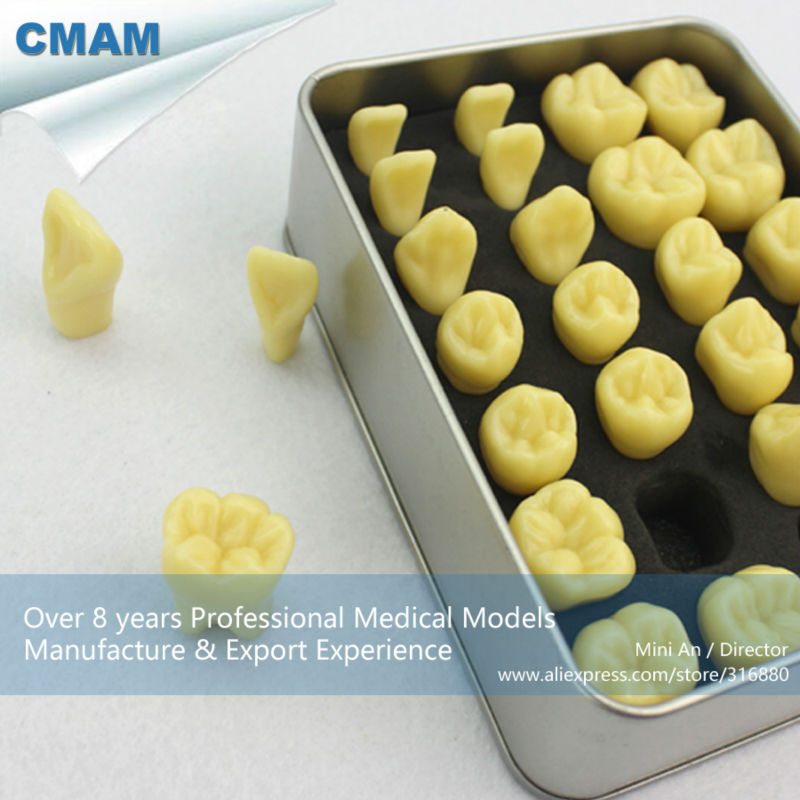 12573 CMAM-TOOTH01 Quality Resin Human Tooth Anatomy Model with Alloy Box Portable Packaging ...