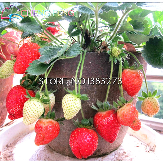 300/bag Giant Strawberry plants Rare Big Diy plant bonsai Fragaria Fruit bonsai For Home Garden flower Plants Cherry Berry semen 3