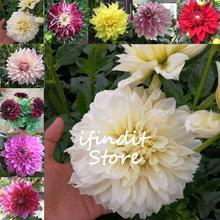 50pcs Dahlia Flower Dahlia bonsai Charming Bonsai Flower bonsai (Not Dahlia Bulbs) High Germination Home Garden Potted Plan цена 2017