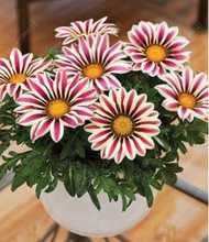 100% Real mix colors gazania flower seeds bonsai flower seeds rare chrysanthemum seeds potted plants for home garden 20 pcs/bag