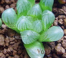 Hot!20 Colors 100 pc/pack stone flower Seeds ice-plant seeds ailanthus mosquito repellent bundle fleshier plant seeds mosquito r