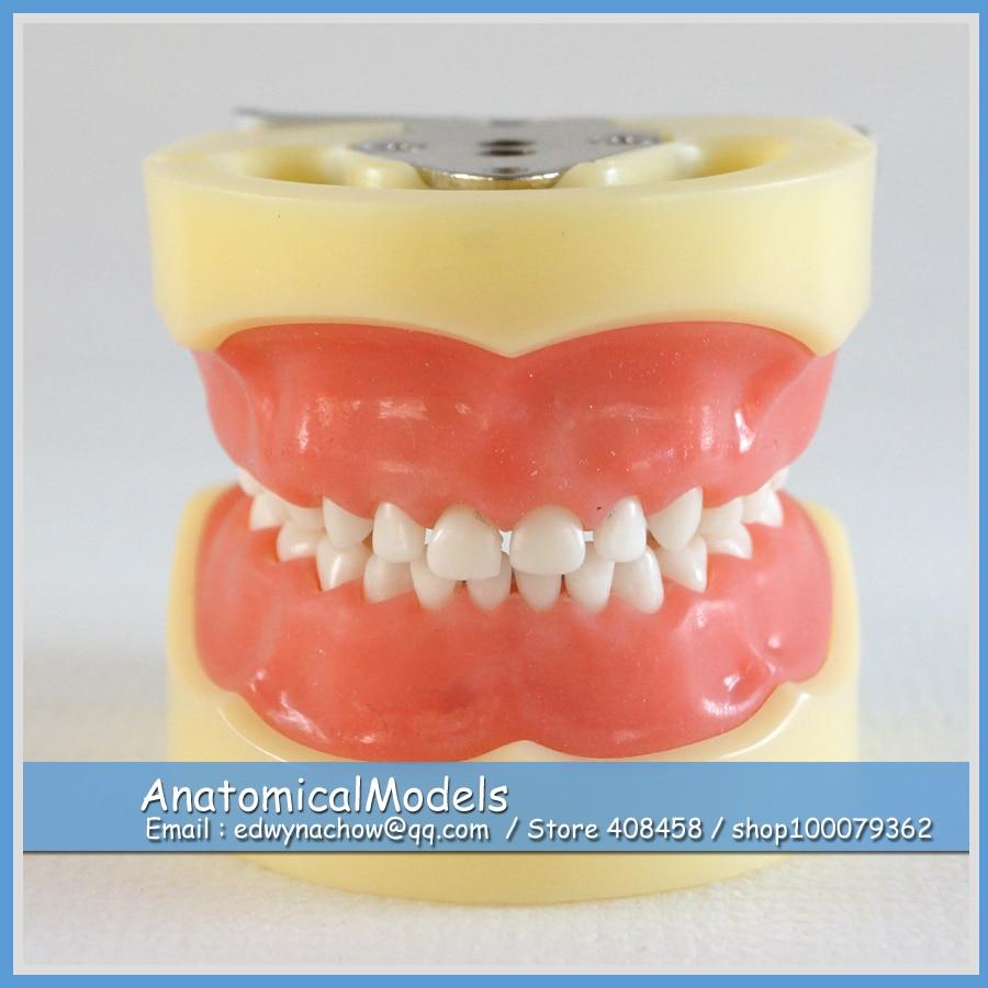 13003 DH103 Soft Gum 24pcs Teeth Standard Child Dental Model 2016 dental soft gum practice teeth model for students with removable teeth