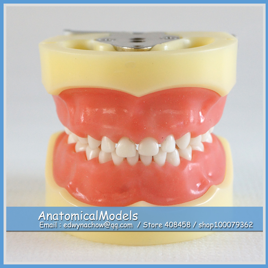 ED-DH103 Soft Gum 24pcs Teeth Standard Child Dental Model 1 pcs dental standard teeth model teach study