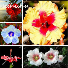Hibiscus Seeds Promotion-Shop for Promotional Hibiscus Seeds on ...