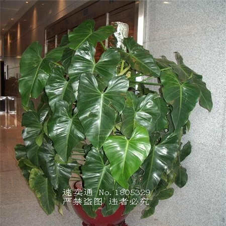 Promotion 100 Genuine Rare 30pcs Philodendron Seeds Vine Leaf Indoor Plants Anti