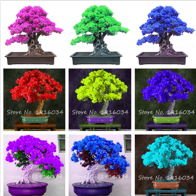 9 Kinds of colour Bougainvillea Spectabilis Willd Can Be ...