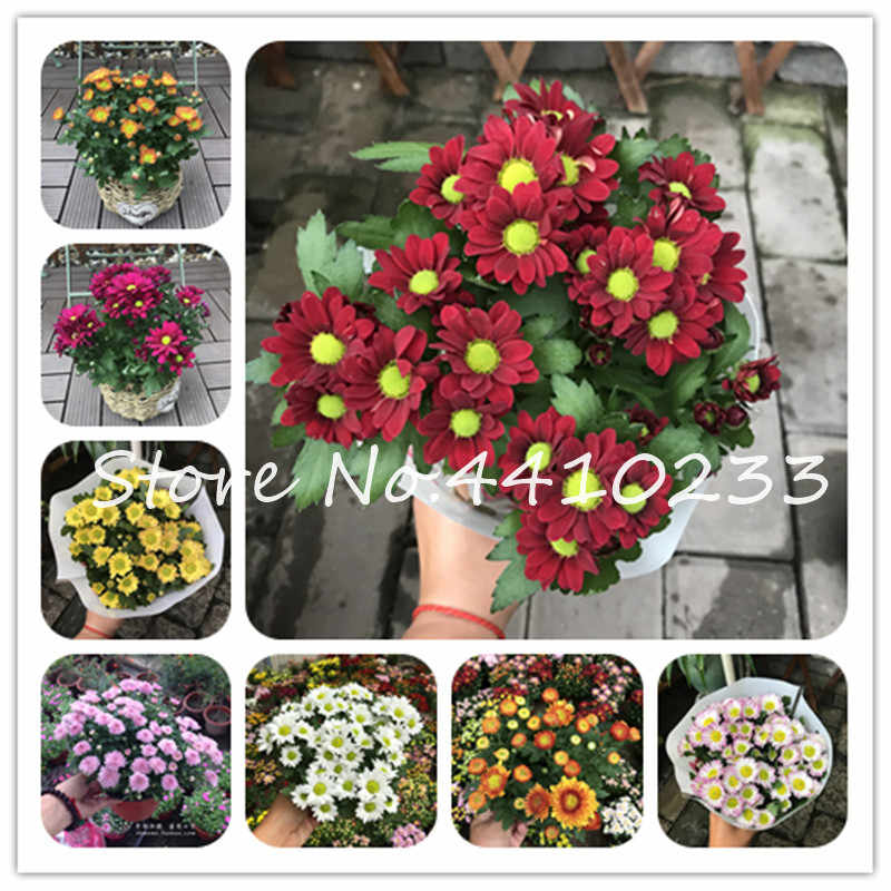Promotion! 50 Pcs Japan Daisy Bonsai Echinacea Purpurea Flower Plants Home Garden Easy Grow Osteospermum, Chrysanthemum Flower