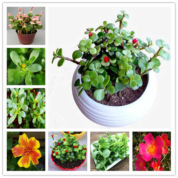 100 Pcs Mixed Color Moss-Rose Purslane Double Flower Bonsai For Planting (Portulaca Grandiflora)Heat Tolerant Easy Growing