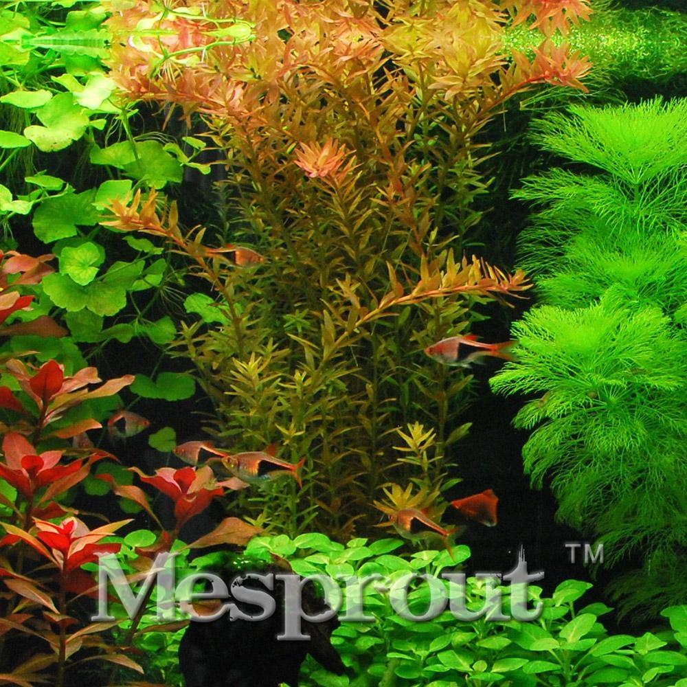 200pcs Rotala Rotundifoliavar Seeds,Sagina Subulata Seeds,Bonsai Decorative Grass Seeds,potted plant for DIY home garden