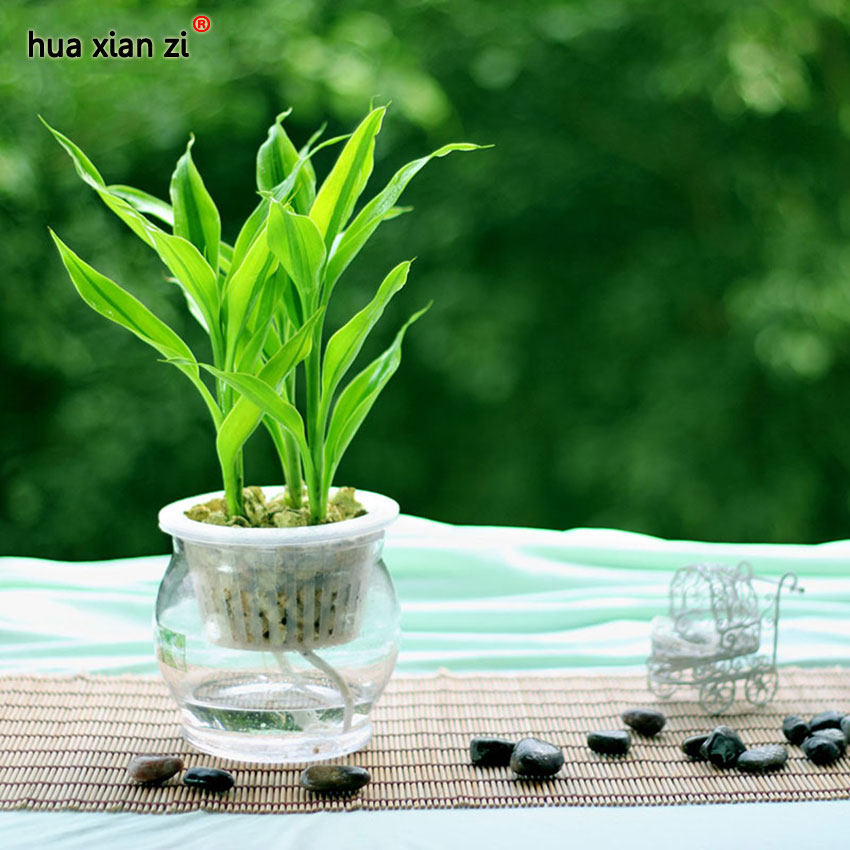 purify the air dracaena seeds lucky bamboo small potted plants planting is simple 100 particles