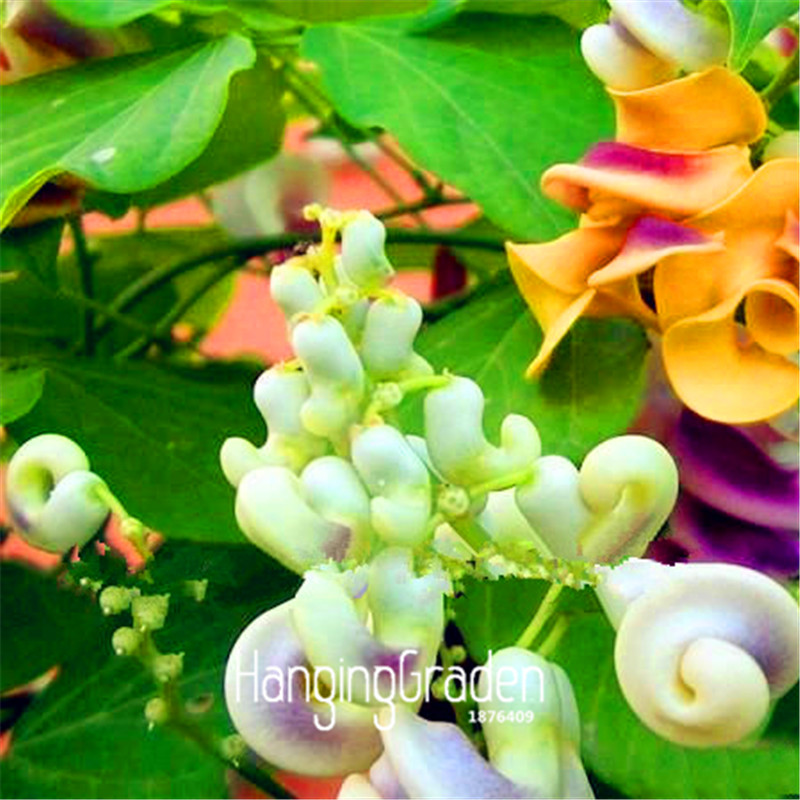 New seeds 2018 20 pcspack rare japanese snail vine seeds bonsai 20 pcspack rare japanese snail vine seeds bonsai diy home garden plants pot flowers seeds wisteria in bonsai from home garden on aliexpress alibaba publicscrutiny Gallery