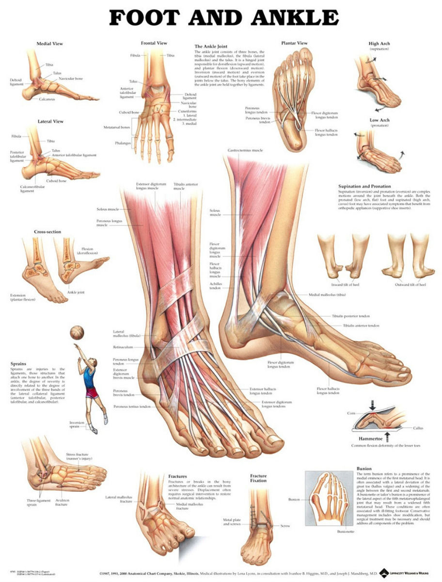 Muscular And Skeletal Anatomy Of Ankle Anterior Foot poster 17\