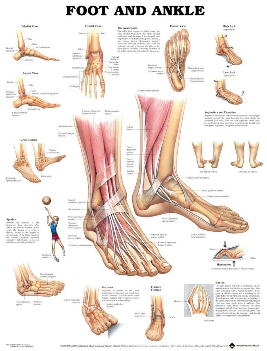 Muskel Und Skelett Anatomie Der Knöchel Anterioren Fuß poster 17 \